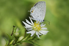 Восточная замкнутая голубая бабочка Стоковое фото RF