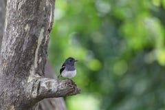 Восточная задвижка Сорока-Робина стоя на ветви в парке Стоковое Изображение RF