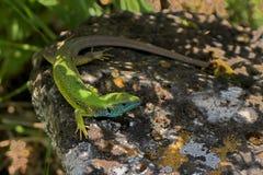 восточная зеленая ящерица стоковая фотография