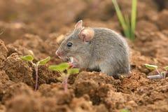Восточная домовая мышь - musculus Mus Стоковое Изображение