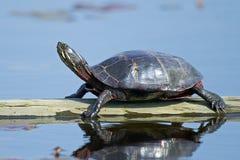 Восточная покрашенная черепаха на журнале стоковая фотография rf