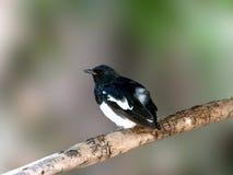 Восточная птица Робина сороки Стоковые Изображения RF