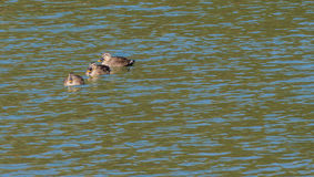 Восточная Пятн-представленная счет утка 3 в реке Стоковые Фотографии RF
