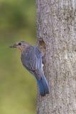 Восточная синяя птица на ее гнезде Стоковое Изображение RF