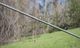 Восточная синяя птица садить на насест на проводе Стоковые Изображения RF