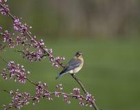 Восточная синяя птица садить на насест на ветви Redbud Стоковая Фотография