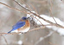 Восточная синяя птица стоковое изображение