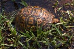 Восточная черепаха коробки в траве Стоковая Фотография RF
