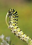 Восточная черная гусеница Swallowtail Стоковая Фотография RF