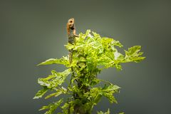 Восточная ящерица сада на дереве папапайи стоковое изображение rf