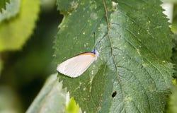Восточное поставленное точки agathina Mylothris бабочки границы на лист Стоковое фото RF