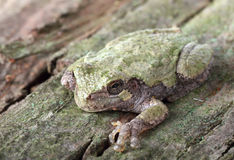 восточное серое treefrog hyla versicolor Стоковые Фото