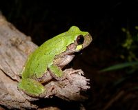 восточное серое treefrog hyla versicolor Стоковое Фото