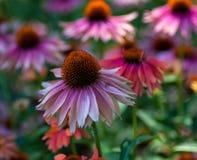 Восточное фиолетовое Coneflower Стоковые Фотографии RF