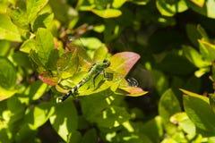 Восточное Pondhawk или зеленая женщина Clearwing на лист Стоковые Фото