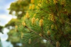 Восточное strobus Pinus белой сосны стоковая фотография