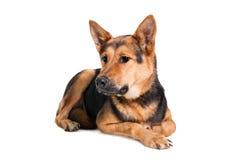 Восточно-европейская собака на белизне стоковые фото