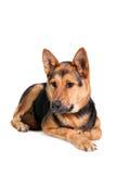 Восточно-европейская собака на белизне стоковое изображение rf