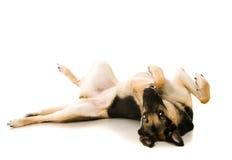 Восточно-европейская собака на белизне стоковое фото