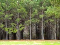 Восточные деревья Техаса Стоковые Изображения RF