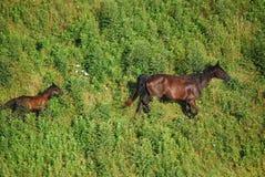 Восточные лошади Кентукки на холме Стоковое Изображение