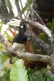 Восточные пестрые птица-носорог или albirostris Anthracoceros отдыхая на ветви стоковое изображение rf