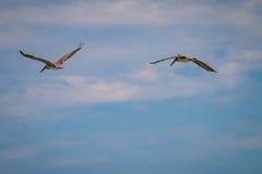Восточные пеликаны Брайна стоковые изображения