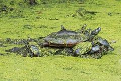Восточные покрашенные черепахи на журнале стоковое изображение rf