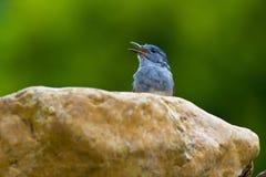 Восточные птицы Сорока-Робина Стоковая Фотография RF
