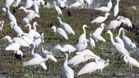 Восточные птицы Egret скотин в Таиланде и Юго-Восточной Азии видеоматериал