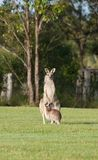 восточные серые кенгуруы Стоковые Изображения