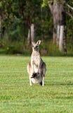 восточные серые кенгуруы Стоковые Фотографии RF