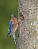 Восточные синяя птица и младенец на гнезде Стоковые Изображения RF