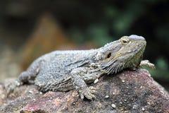 Восточный бородатый дракон (Pog Стоковые Изображения