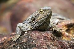 Восточный бородатый дракон & x28; Pog Стоковые Фото
