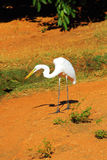 Восточный большой Egret подавая на мясе, западной Австралии Стоковое Изображение RF