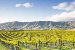 восточный виноградник Стоковые Фотографии RF
