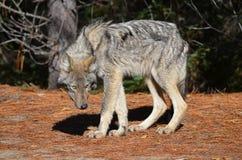Восточный волк в глуши стоковые изображения rf