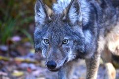 Восточный волк в глуши стоковая фотография rf