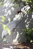 Восточный кран Sarus которые были потухшие в одичалом в 1980s в Таиланде распространил ее крыла в природе на Huay Jorrakaemak Res Стоковое Изображение RF