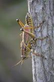 Восточный кузнечик Lubber сидит голова вниз на сером стволе дерева Стоковое фото RF