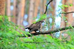 Восточный мед-канюк Стоковая Фотография RF