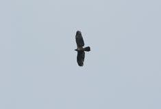 Восточный Мед-канюк (ptilorhyncus Pernis) Стоковые Фотографии RF