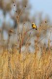 Восточный петь профиля левой стороны Meadowlark стоковые фотографии rf