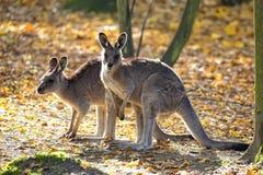 Восточный серый кенгуру в расчистке Стоковая Фотография RF