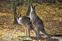 Восточный серый кенгуру в расчистке Стоковое Изображение