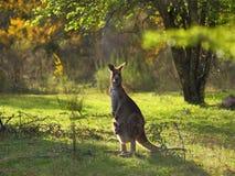 Восточный серый кенгуру с Joey Стоковые Изображения RF