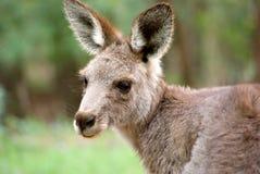 восточный серый кенгуру Стоковое Фото