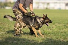 Восточный - собака немецкой овчарки Стоковая Фотография