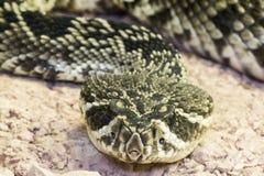 Восточный с ромбовидным рисунком на спине rattlesnake (adamanteus Crotalus) Стоковые Изображения